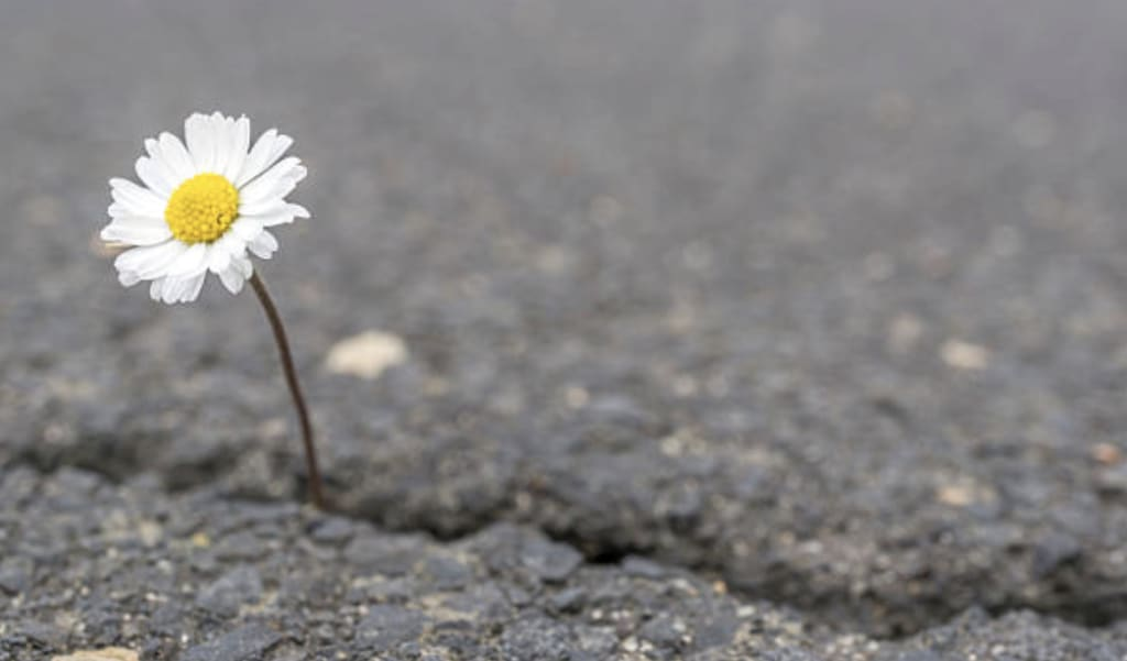 A Daisy in a Crack